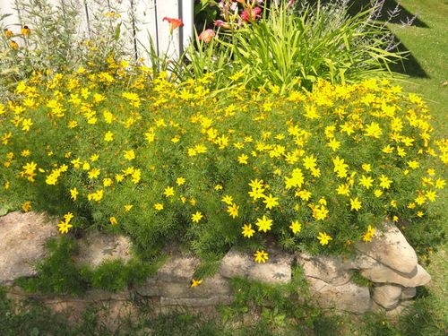 Coreopsis.august.2014.a